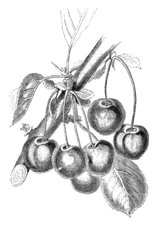 This frame is a species of cherries that is called Reine Hortense cherries. In it there is banyan tree and it has leaves and it has bunch of cherries, vintage line drawing or engraving illustration. Banque d'images - 132868795