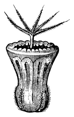 A picture is showing Seed of Field Scabious, also known as Knautia Arvensis. It is perennial plant. The stem has long stiff hairs angled downwards, vintage line drawing or engraving illustration.