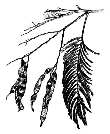 A branch of a Silver Wattle tree. The leaves of this tree are light green and grow in fifteen to twenty pairs on the branches, vintage line drawing or engraving illustration.  イラスト・ベクター素材