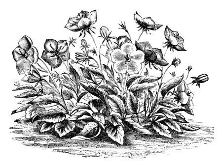 This is a image of flowers of Campanula Carpathica Pelviformis. Its flowers are fragrant and lilac colored, vintage line drawing or engraving illustration.