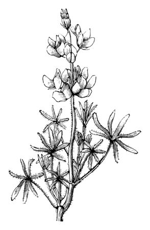 A picture is showing a branch and flower of Dwarf Lupine also called as Lupinus Nanus. The flowers of Dwarf Lupine are lilac and blue in color and blooms in the summer, vintage line drawing or engraving illustration.