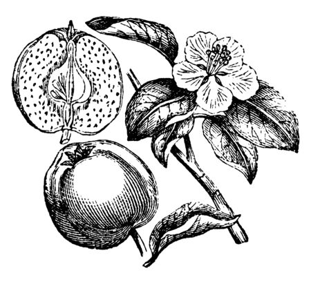 This is the Quince Fruit. It looks like a green apple. It has flat, long leaf and flower with fine Pollain grains. There is a seed inside fruit, vintage line drawing or engraving illustration. Ilustração
