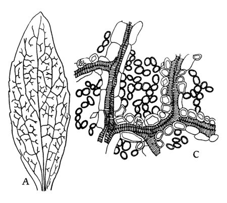 This is Dicotyledon Leaf. Its base is asymmetrical & base of lamina of markedly different shape on either side of the midline & viens are tiny. There is a vertical tissue with epidermis and cytoplasm, vintage line drawing or engraving illustration.