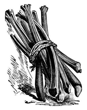 Dies ist ein Bild von Rhabarber. Dies ist der Ursprung des großblättrigen Gemüses in Asien, Vintage-Linienzeichnung oder Gravurillustration.