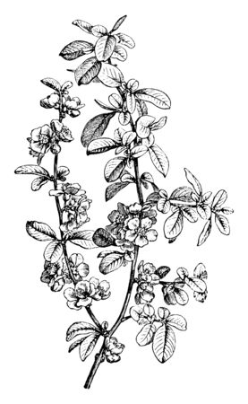 A picture showing a branch of Pyrus Japonica which is a tree produces dark red flowers and fragrant green leaves. The leaves are oval and serrated and are native to Japan, vintage line drawing or engraving illustration.