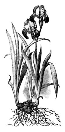 Roots, flowers and sword like leaves of Iris plant, vintage line drawing or engraving illustration.