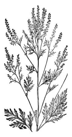 The Roman wormwood or small absinthe is an herb. The species name, artemisiifolia, is given because the leaves were thought to bear a resemblance to the leaves of Artemisia, vintage line drawing or engraving illustration.