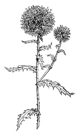 Southern Globe Thistle is flowering plant. On the top of the round, there are bluish flowers; leaves are toothed, vintage line drawing or engraving illustration. Vettoriali