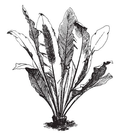 A picture showing Asplenium Nidus. It is known by the common name bird's nest fern. The fern has entire marginal leaves. The veins are partially united to form a net, vintage line drawing or engraving illustration.