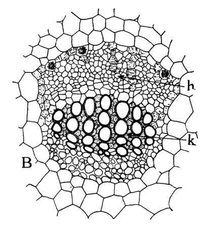 This picture showing a callatera Vascular bundle. It is type of Vascular bundle, vintage line drawing or engraving illustration.