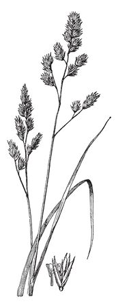 This perennial grass is 3-6 tall at maturity. Infertile shoots produce low dense tufts of leaves, while fertile shoots produce tall culms with alternate leaves, vintage line drawing or engraving illustration.