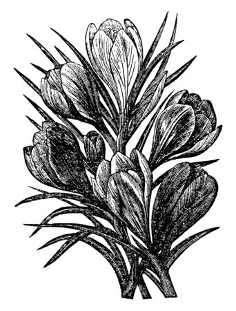These plants belong to the flowering family. This plant grow in winter season, this plant has very beautiful flower, vintage line drawing or engraving illustration.