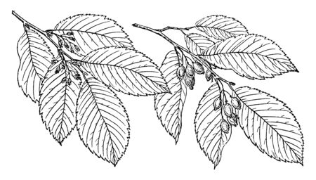 A branch of a September Elm tree, native to a select few states in North America, vintage line drawing or engraving illustration. Ilustração