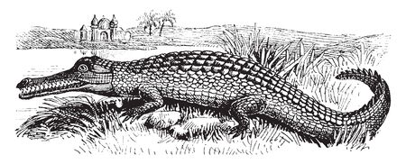 Gharial is the only surviving member of the family Gavialidae and a long established group of crocodile like reptiles with long, vintage line drawing or engraving illustration. 向量圖像