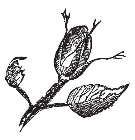 A picture of bud, which is the outgrowth from the plant, can develop into a new individual. Buds may be specialized to develop flowers or short shoots, vintage line drawing or engraving illustration. Иллюстрация