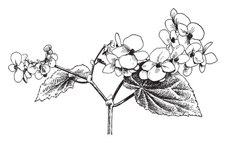 Flowers have four petals, flowers blossom from January to April. The branches are swollen above the nodes, vintage line drawing or engraving illustration. Vectores