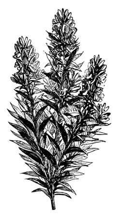 It is a species of flowering plant of the family Fabaceae. It is a variable deciduous shrub growing to 60-90 centimeters tall by 100 cm (39 in) wide, the stems woody, slightly hairy, and branched, vin