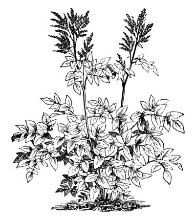 Astilbe plant is tall up to 1 to 2 meter. Leaves sometime heart shaped and some leaves stalk and stalkless, and compound leaves, vintage line drawing or engraving illustration.