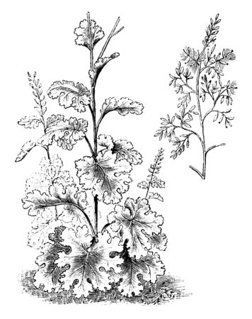The shrub of Bocconia Cordata has numerous toasted flowers. The stems grow very close together and are covered with leaves. The leaves are large, rounded and deeply veined, vintage line drawing or engraving illustration.