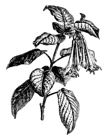 The flowers of Fuchsia Fulgens plant are reddish, its leaves are folded in the opposite direction and the flowers bloom throughout the year, vintage line drawing or engraving illustration. Ilustracja