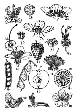 Pictured are the orders of plantanceae, rosaceae, and leguminosae. The flowers of these orders that are illustrated and they are different parts of flowers, vintage line drawing or engraving illustration.