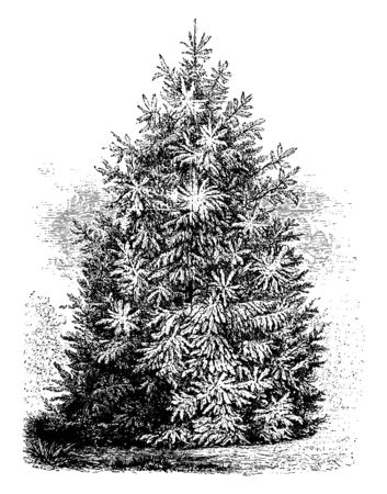 Picea Smithiana is a variety of spruce fir tree. It is grows between eighty to one hundred twenty feet tall, vintage line drawing or engraving illustration.