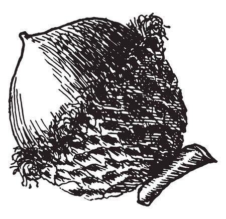 A picture showing the acorn of bur oak fruit, vintage line drawing or engraving illustration. Illustration