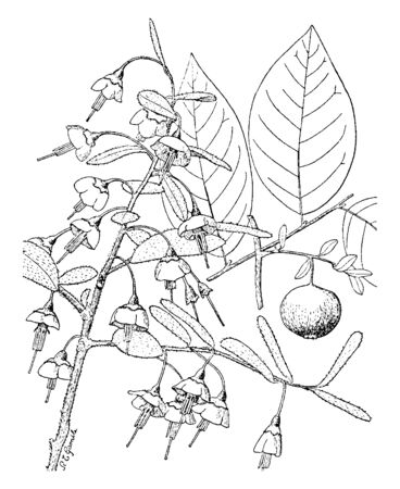 A picture shows the Vaccinium Stamineum Flowering Plant. It has broad, flat leaves and Small blueberry. It is native to the US and it has small hairs on plant, vintage line drawing or engraving illustration. Ilustracja
