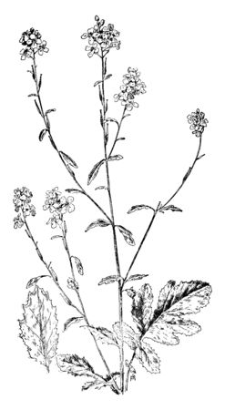 It is a Black Mustard plant. It contains black seeds which are used as a spice, vintage line drawing or engraving illustration. Illustration