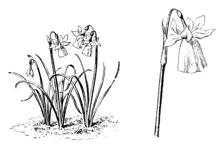 The flowers of Narcissus Calanthinus are of white & yellow color and 15-20 cm tall, vintage line drawing or engraving illustration. Ilustrace