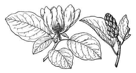 This Magnolia Acuminata is the branch of Cordata Flowers which is found mostly on Blue Ridge in South Carolina, vintage line drawing or engraving illustration.  イラスト・ベクター素材