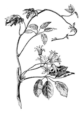 Picture is of Stauntonia Hexaphylla plant. 5 to 6 leaves and 3 to 4 flowers are on a single stalk. Leaves are elliptic in shape, vintage line drawing or engraving illustration.