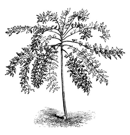 A picture showing a Panax Murrayi. This is from Araliaceae family. A small to medium size tree, grows 25 meters tall. Leaves are larger oval shaped. Stem is broad and thick, diameter is 50 cm, vintage line drawing or engraving illustration.