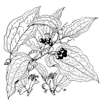 A picture shows the Hispida Smilax Plant. This plant has needle like bite. Leaves are flat spherical and fruits are dark green like berries, fiber wires, vintage line drawing or engraving illustration.
