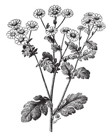 A picture is showing Feverfew, also known as Chrysanthemum Parthenium. It belongs to daisy family; Asteraceae.It is a strong scented perennial plant, vintage line drawing or engraving illustration. 일러스트