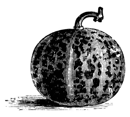 A picture showing Queen Anne's Pocket Melon which is also known as the Dudaim Melon. This melon is very small in size and round in shape, vintage line drawing or engraving illustration.  イラスト・ベクター素材