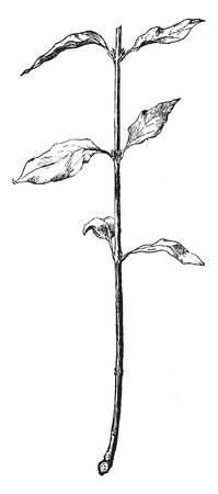A picture, thats showing Dogwood. This image shows a cut Dogwood. Dogwood is common name of Cornus and it belongs to Cornaceae family. This is a woody plant, vintage line drawing or engraving illustr
