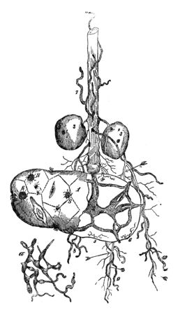 This is the seed-potato. When potato is grown from eye buds, after plant is rooted to soil, the lower part of its stem is covered by earth, vintage line drawing or engraving illustration.