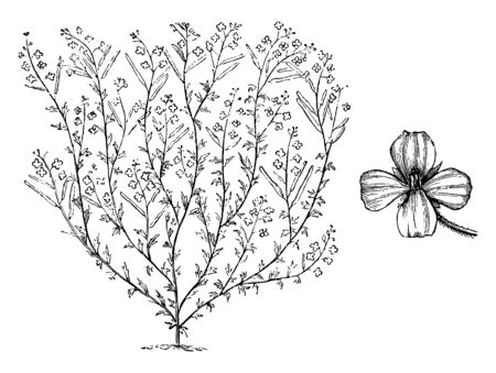 These types of flower are blue. It split in small branches as show in picture. There is a feeding flower on the left in the picture, vintage line drawing or engraving illustration.
