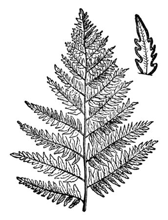 A picture is showing a branch of Bracken tree which is a kind of fern very common in America and Europe in general, and which often covers large areas on the slopes and in uncultivated land, vintage line drawing or engraving illustration.