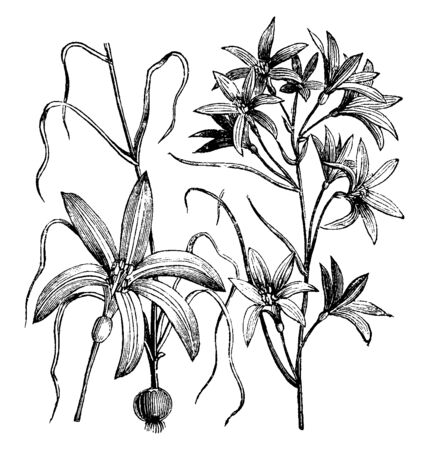 An illustration of flowering plant of Ixiolirion Tataricum Brachyantherum, whose bloom in raceme, native to southwest and central Asia from the Sinai Peninsula to Xinjiang Province of China, vintage line drawing or engraving illustration. Vector Illustration