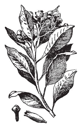 Twig of clove tree, Cloves are harvested at 1.5-2.0 cm long, and consist of a long calyx that terminates in four spreading sepals, and four unopened petals that form a small central ball, vintage line drawing or engraving illustration.