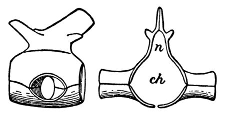 Dorsal Vertebra of the Hylonomus which lived 315 Ma during the Carboniferous period, vintage line drawing or engraving illustration. Stock Illustratie