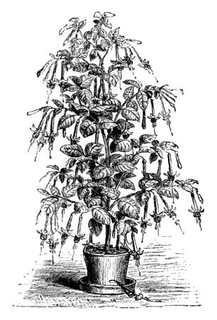 The flowers of Beaconsfield Fuchsia Earl are pink and reddish. The leaves of this flower are small and decadent; its flowers hang downwards, vintage line drawing or engraving illustration.