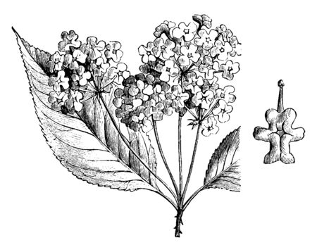 The image shows an Inflorescence and Detached Flower of Hybrid Lantana. It is used for greenhouse decoration and for bedding out purposes. Flowers are red, golden, or white, vintage line drawing or engraving illustration.