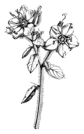 This picture is showing Flowering Stem of Hydrolea Spinosa with its thorny stem flowers which are mostly bloom in July month, vintage line drawing or engraving illustration. Illustration