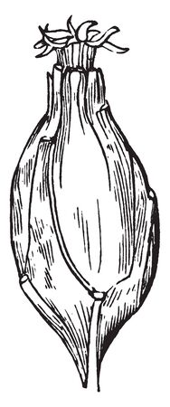 This picture is showing a Carolina allspice. This fruit is thick oval shaped, vintage line drawing or engraving illustration. Ilustracja