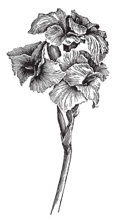 An image of Italia Canna flowers also known as orchid cannas flowers. Its flowers are soft and have streaming iris-like frameworks, vintage line drawing or engraving illustration.