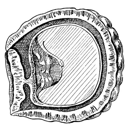 This is an image of Sawari Nut which is showing a section of one of the lobes of its fruit, vintage line drawing or engraving illustration. Ilustrace