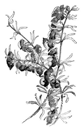 Boronia Megastigma is a small shrub. The narrow, thick, linear leaves are arranged on branch, vintage line drawing or engraving illustration.